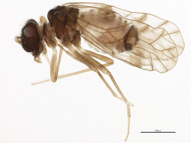 Image of <i>Lachesilla pallida complex</i>