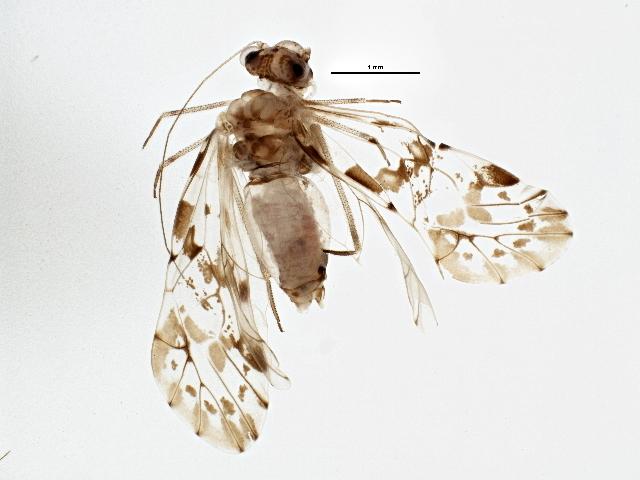 Image of <i>Trichadenotecnum majus</i> (Kolbe 1880)