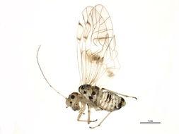 Image of Teliapsocus