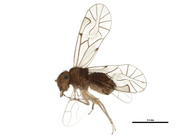 Image of <i>Anomopsocus amabilis</i> (Walsh 1862)
