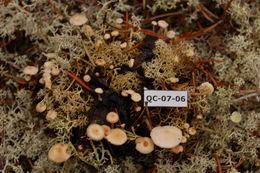 Image of <i>Collybia tuberosa</i> (Bull.) P. Kumm. 1871
