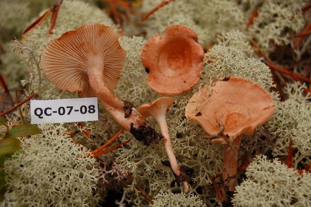 Image of <i>Hygrophorus</i>
