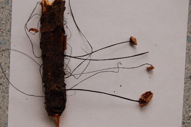 Image of <i>Marasmius androsaceus</i>
