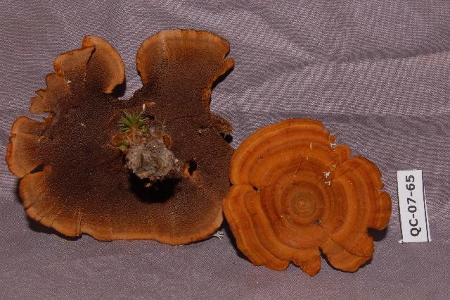 Image of <i>Coltricia cinnamonea</i>