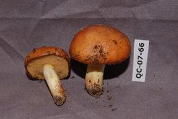 Image of <i>Suillus brevipes</i> (Peck) Kuntze 1898