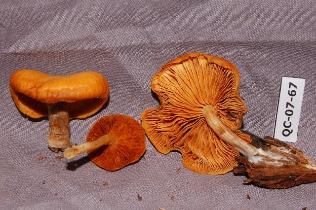 Image of Gymnopilus