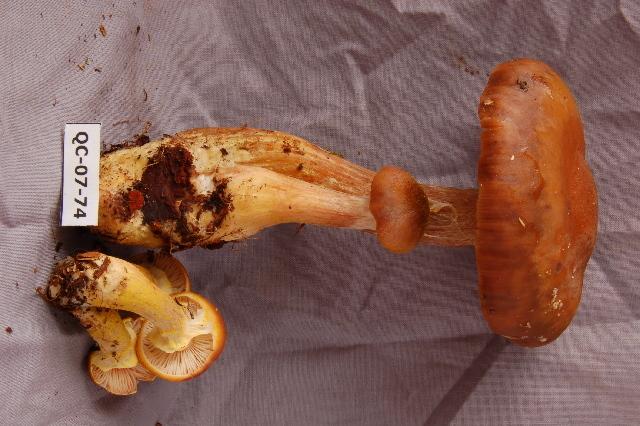 Image of <i>Armillaria sinapina</i> Bérubé & Dessur. 1988