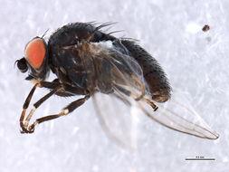 Image of <i>Leucopis</i>