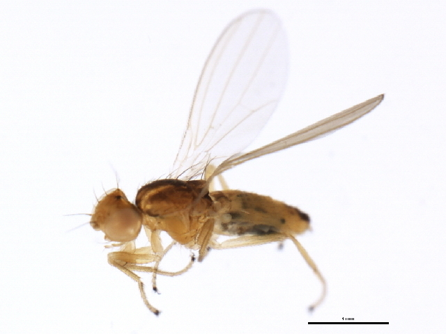 Image of <i>Anthomyza pengellyi</i>