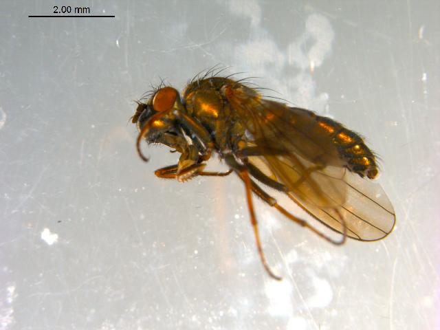 Image of <i>Ephydra</i>