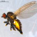 Image of <i>Chromatomyia fuscula</i> Zetterstedt 1838