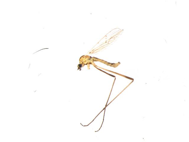 Image of <i>Symplecta</i> (<i>Psiloconopa</i>) <i>stictica angularis</i> (Alexander 1917)