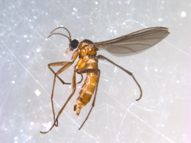 Image of <i>Phytosciara saetosa</i> (Lengersdorf 1929)