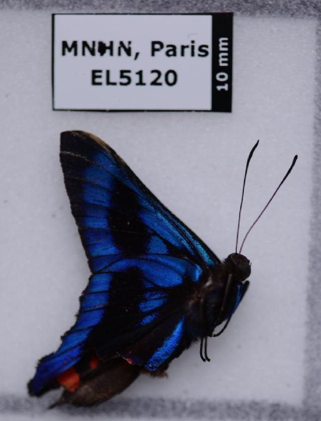 Image of Ancyluris