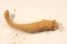 Image of 10-tentacle burrowing anemone