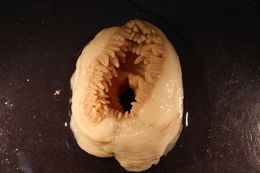 Image of cowardly anemone