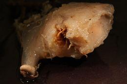 Image of <i>Actinoscyphia</i>
