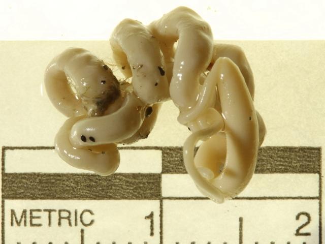 Image of Carinomidae