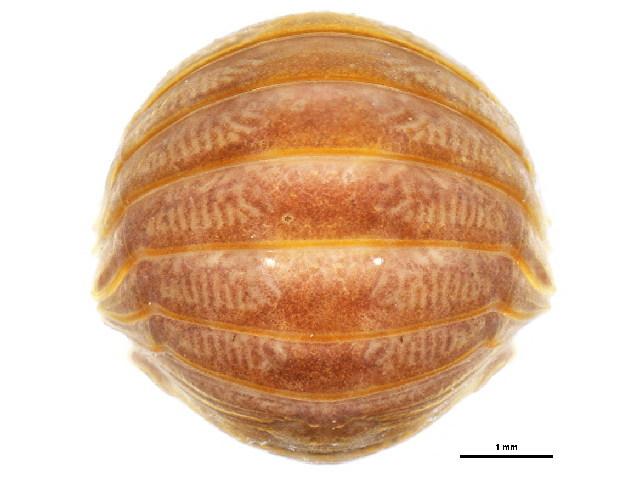 Image of Gnorimosphaeroma