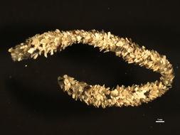 Image of Oweniidae