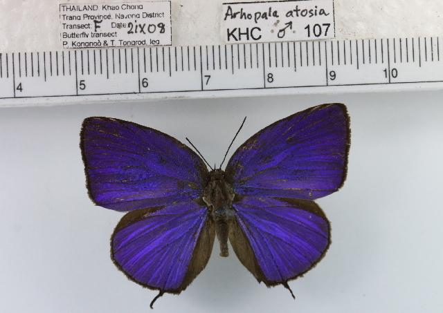 Image of <i>Arhopala lurida</i> Corbet 1941