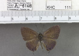 Image of <i>Nacaduba subperusia</i> (Snellen 1896)