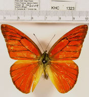 Image of <i>Appias nero</i> (Fabricius 1793)