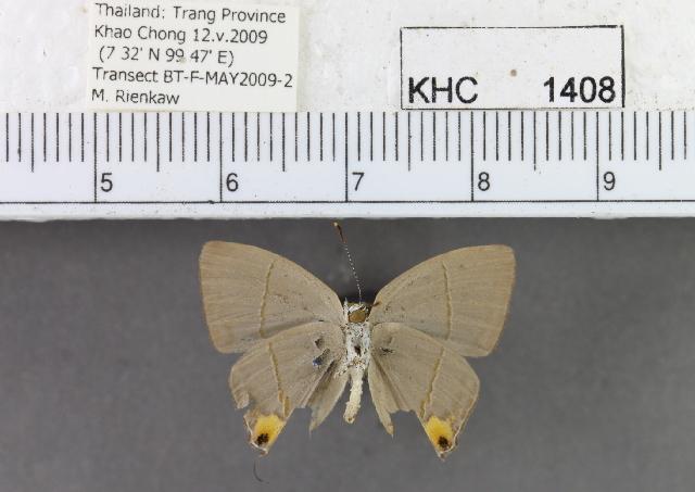 Image of <i>Britomartis cleoboides viga</i> (Corbet 1940)
