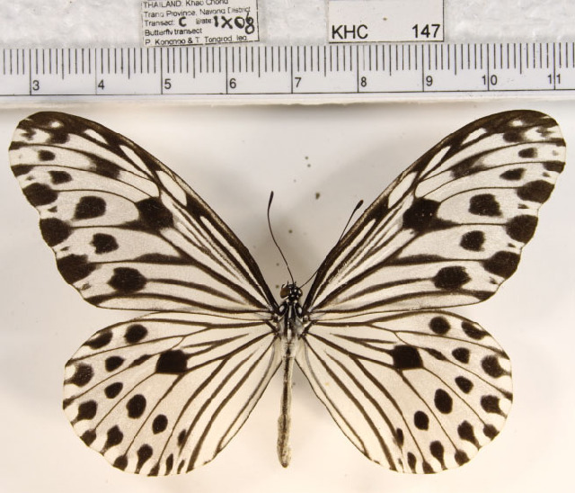 Image of <i>Ideopsis gaura perakana</i> Fruhstorfer 1898