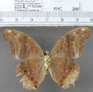 Image of <i>Terinos clarissa malayanus</i>