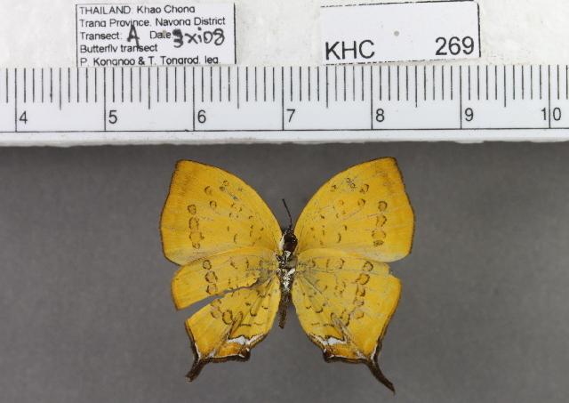Image of <i>Yasoda pita dohertyi</i>