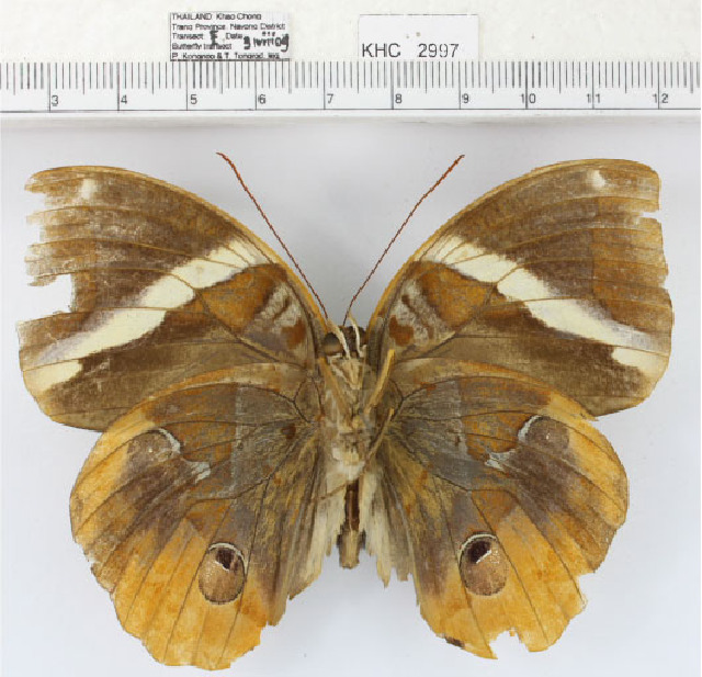 Image of <i>Thauria aliris pseudaliris</i> Butler 1877