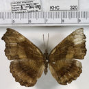 Image of <i>Laringa castelnaui</i> Felder 1860