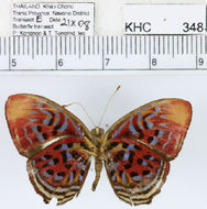 Image of <i>Paralaxita telesia boulleti</i> Fruhstorfer 1914