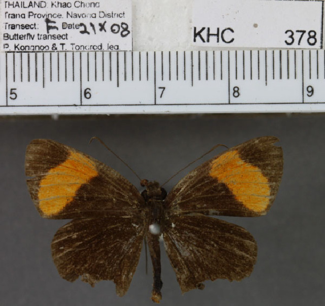 Image of <i>Celaenorrhinus ladana</i>