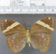 Image of <i>Xanthotaenia <i>busiris</i></i> ssp. busiris