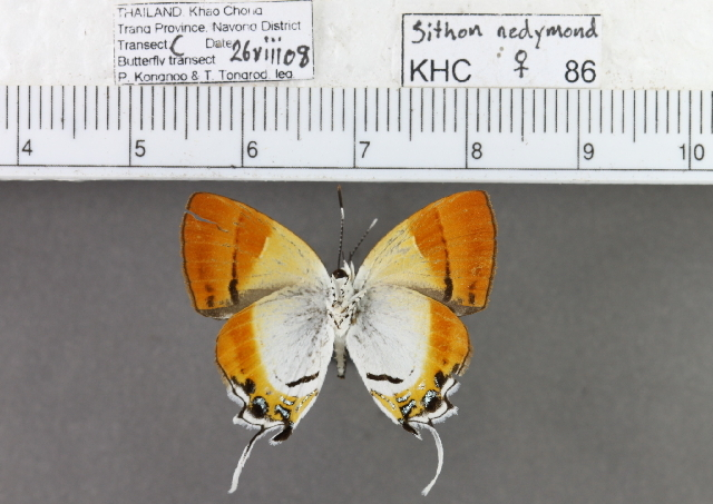 Image of <i>Sithon nedymond</i> (Cramer 1782)