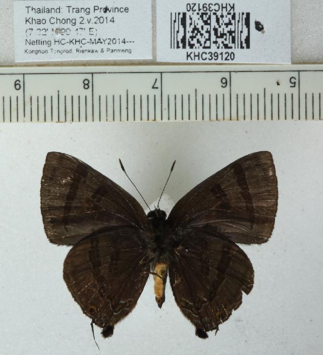 Image of <i>Rapala rhoecus</i> de Nicéville 1895