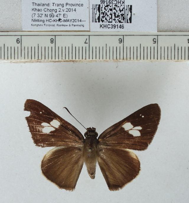 Image of <i>Lotongus calathus</i> Hewitson 1876