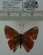 Image of <i>Rapala iarbus</i> (Fabricius 1787)
