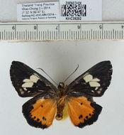 Image of <i>Pintara pinwilli</i> Butler 1877