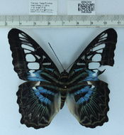 Image of <i>Parthenos sylvia apicalis</i>