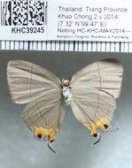 Image of <i>Britomartis cleoboides</i> (Elwes (1893))