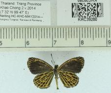 Image of <i>Ochus subvittatus</i> Moore 1878
