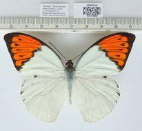 Image of Great Orange Tip