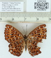 Image of <i>Zemeros flegyas</i> Cramer 1780