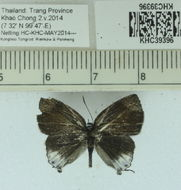 Image of <i>Hypolycaena merguia</i> (Doherty 1889)