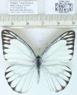 Image of <i>Appias olferna</i> Swinhoe 1890