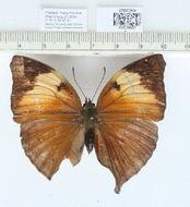 Image of <i>Doleschallia bisaltide</i> Cramer 1779