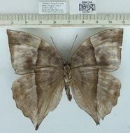 Image of <i>Zeuxidia doubledayi</i> Honrath 1888